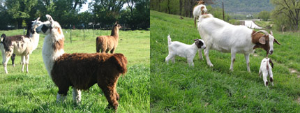 Pasture Management services are offered by Town and Country Turf in Jordan, Minnesota for the proper health and balance of your animals grazing pastures.